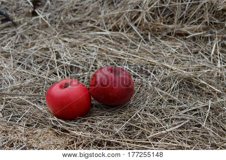 Red and ripe apples on hay in autumn. Apple orchard
