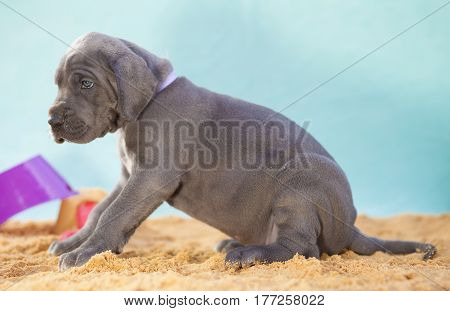 Purebred Great Dane puppy that looks worried on the sand