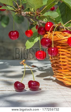 Wicker basket red ripe cherries on white wooden table and on a branch with green leaves in the garden on a sunny summer day