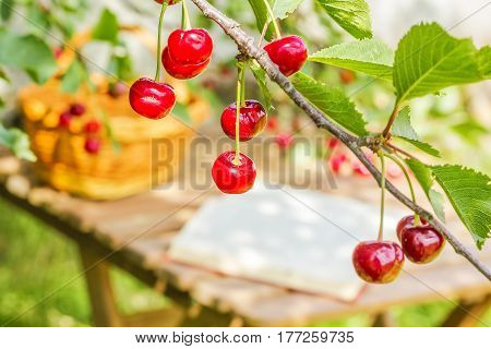 Red cherries on a branch on a blurred background of a wooden table basket and book in a sunny morning in a summer garden