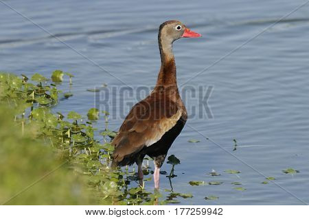 A Black-bellied Whistling Duck, Dendrocygna autumnalis at the edge of a pond in Florida