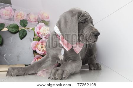 Purebred Great Dane puppy with flowers on white