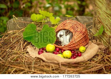 Cute Rabbit Sitting In Wicker Basket With Cherry And Apples