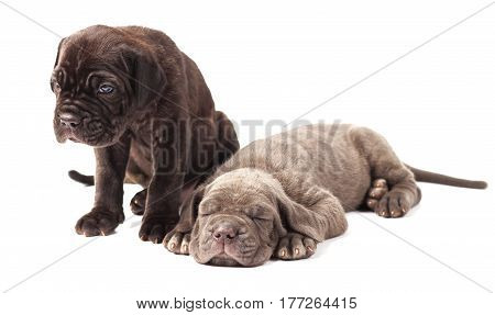 Two beautiful young puppies italian mastiff cane corso (1 month) on white background.