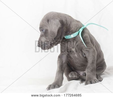 Purebred Great Dane puppy that apprently does not believe a story it is being told