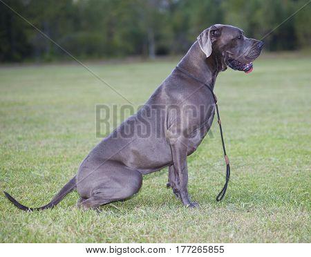 Purebred Great Dane dog sitting on a field
