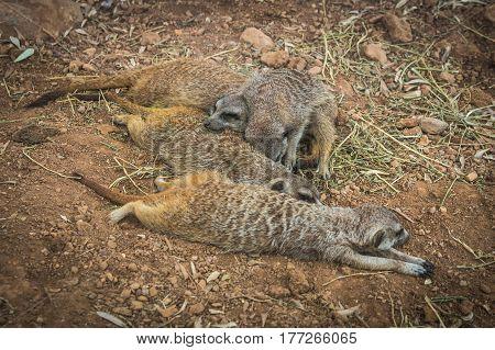 Company Of Little Meerkats Resting On A Meadow