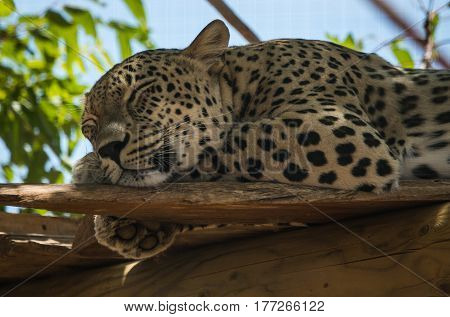 Big Spotted Cat Lying On The Tree In Nature Habitat