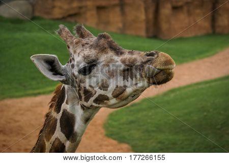 Image of giraffe head in spanish zoo