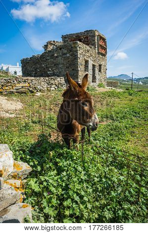 Donkey Near Pigeon House On  Island Of Tinos In Greece