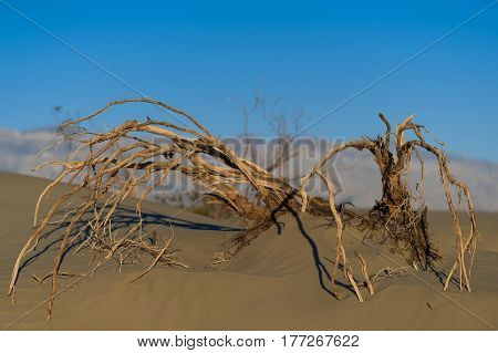 Dead tree branches in desert Death Valley National Park