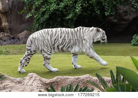 white tiger - albino tiger walking outdoors