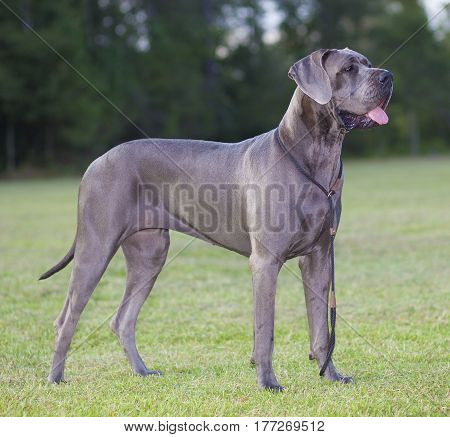 Grey purebred Great Dane standing magestically on a field