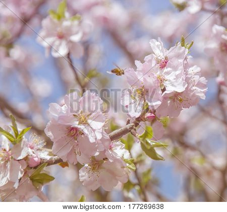 Beautiful Cherry tree Blossoms. Sakura spring Garden