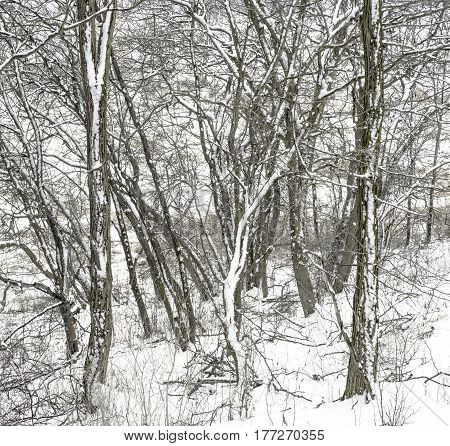 An almost abstract mix of tree trunks and branches covered with snow in a winter landscape