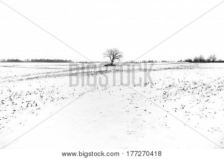 Lone tree and its branches in a farm field silhouetted against white winter landscape and sky