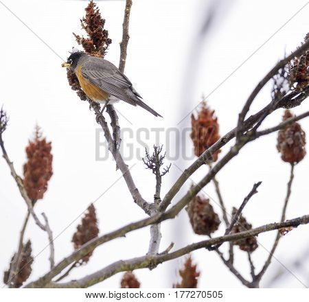 Robin red breast bird perched in red branches eating a winter seed