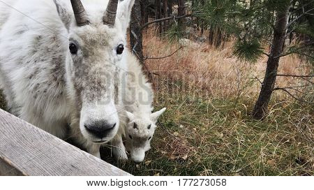 A mother and a baby mountain goat