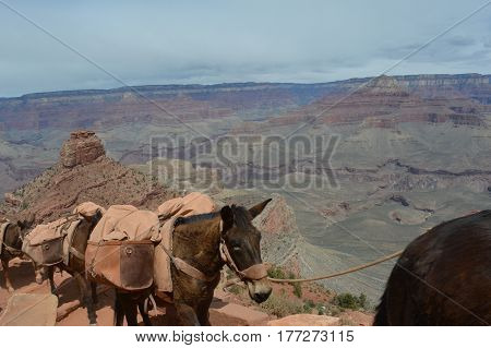 Donkeys on a path in the Grand Canyon