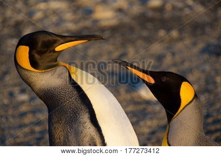 Two king penguins arguing at Saint Andrew's Bay in South Georgia, Antarctica