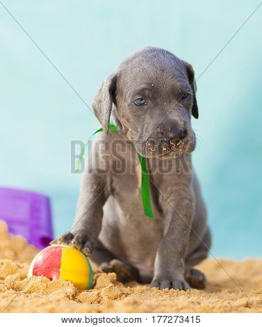 Blue Great Dane puppy purebred guarding its ball on the sand