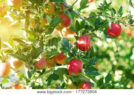 Red Apples On Apple Tree Branch On Autumn Day