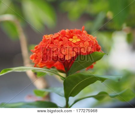Red Ixora Coccinea Flower Blossom In The Garden
