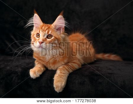 Adorable Cute Red Solid Maine Coon Kitten Lying On Cover With Beautiful Brushes On The Ears With Cur