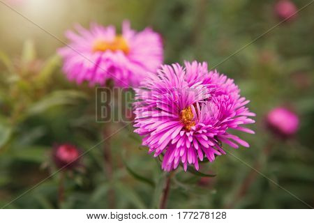 Aster alpinus (Alpine aster) in the late autumn garden. Lithuania