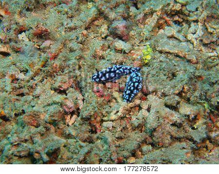 The surprising underwater world of the Bali basin, Island Bali, Lovina reef, true sea slug