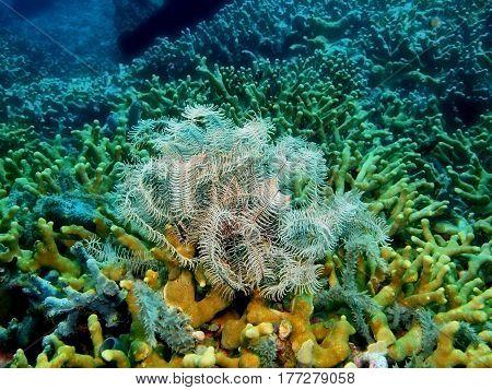 The surprising underwater world of the Bali basin, Island Bali, Lovina reef, crinoid