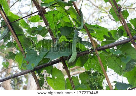 Lose Up The  Fresh  Green Luffa Cylindrica On The   Tree