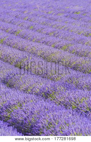 Detail of a beautiful lavender filed in Provence, France