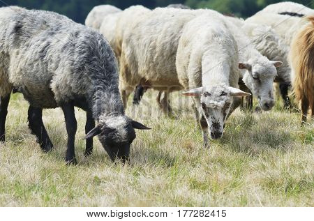 Herd of gray sheep on a pasture in the mountains