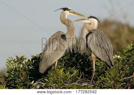 A mating pair of Great Blue Herons, Ardea herodias in breeding plumage at their nest in a Florida rookery