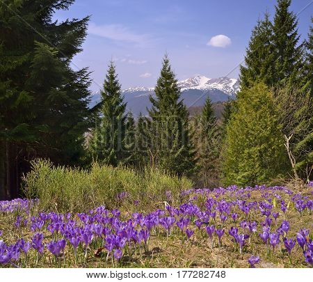 Spring landscape with flowering crocuses. Flowers in a mountain forest. Carpathians, Ukraine, Europe