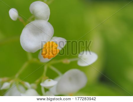 Macro White Flower Blossom With Yellow Pollen On Green Leaf Background