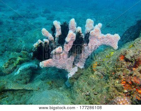 The surprising underwater world of the Bali basin, Island Bali, Lovina reef, demosponge