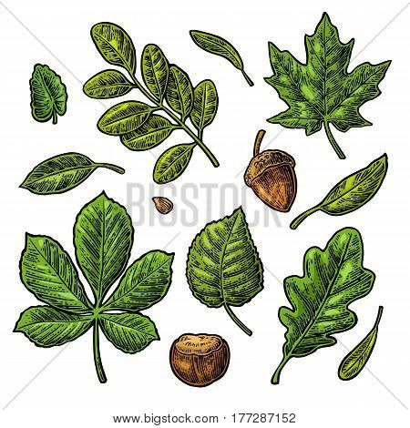 Set green leaf, acorn, chestnut and seed. Vector vintage color engraved illustration. Isolated on white background