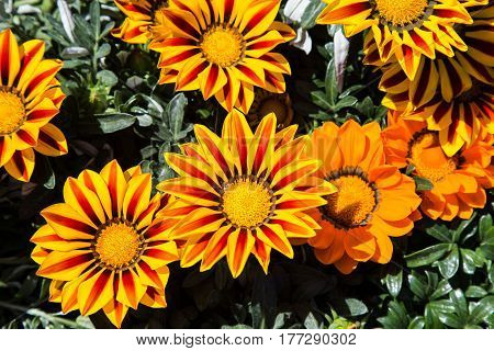 Yellow and red Gazania flowers open to the sun