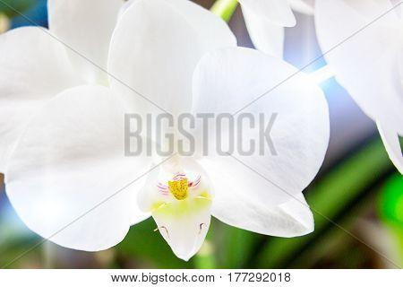 White orchid phalaenopsis close up. Beautiful flower