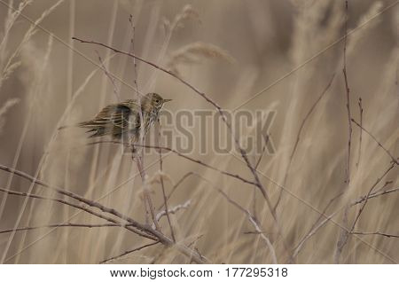 Meadow Pipit (Anthus pratensis) in it's natural habitat a Dune-Valley with Grasses and Twigs