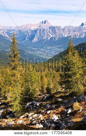 Larch forest Cortina d Ampezzo and Croda Rosa Dolomiti Italy