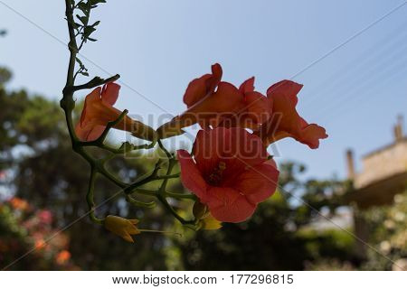 Blossoming Campsis Flowers.