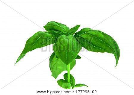 Studio shot of fresh green basil herb leaves isolated on white background