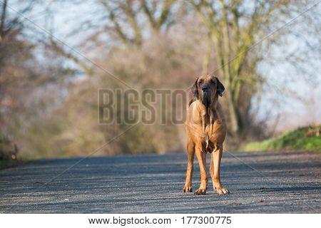 Male of dog breed Fila Brasileiro, Brazilian Mastiff in park in spring time