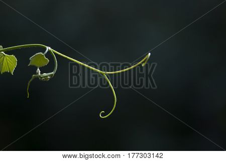 A grape vine tendril grows against a deep green background.