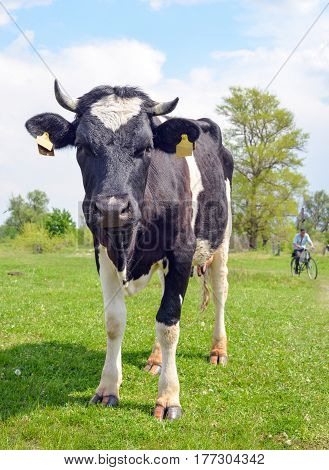 The portrait of cow on the background of field. Beautiful funny cow on cow farm. Young black and white calf eating bright green grass. Cow close up looking at camera