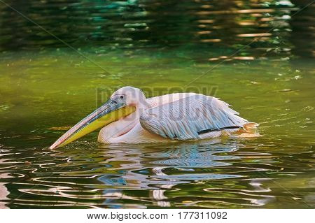 Pelican on Water Surface of the Pond