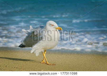 Seagull Walking by the Beach of Black Sea